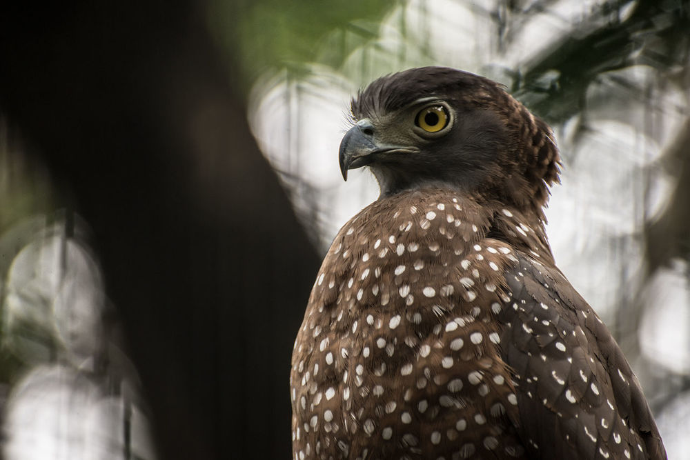 Animal Wildlife Animals In The Wild Bird Bird Of Prey Birds Branch Branches Day Eagle Eagle - Bird Eagles Eyeem Philippines Nature Nature No People One Animal Outdoors Serpent Eagle Spotted Pet Portraits