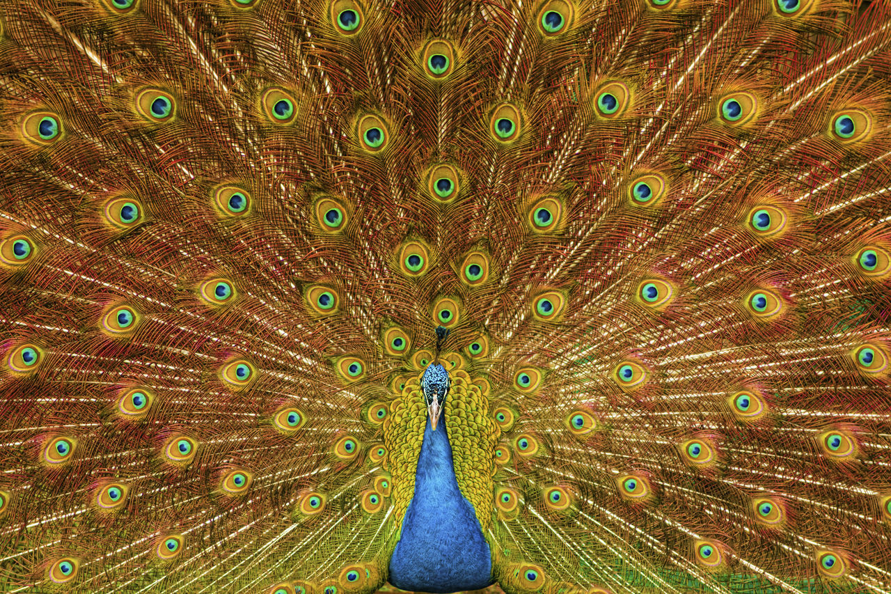 Beautiful stock photos of peacock, Animal Head, Animal Themes, Backgrounds, Beauty In Nature
