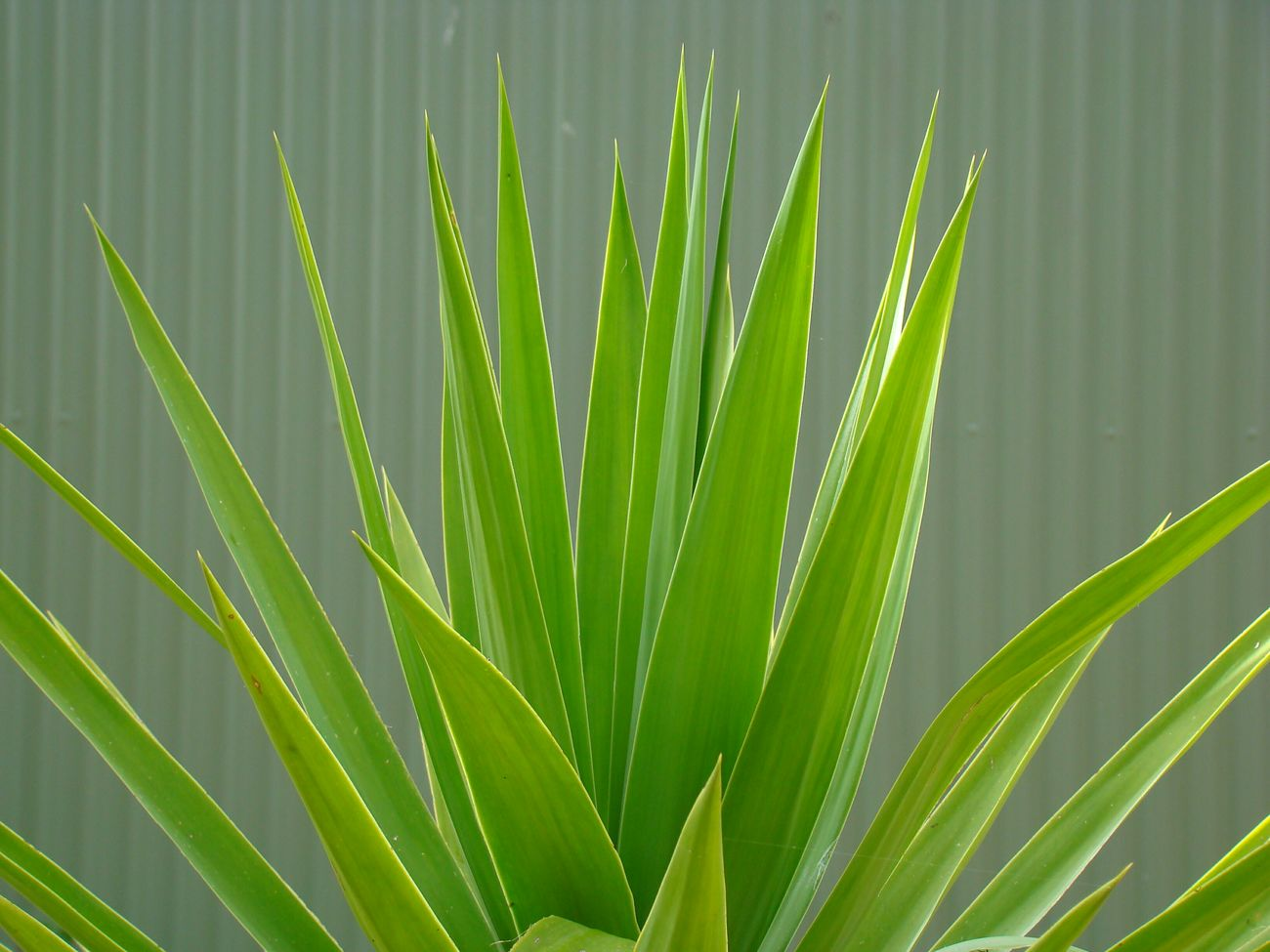 Yucca Nature Leaf Green Color Plant Close-up Spiky Spiky Plant In My Garden
