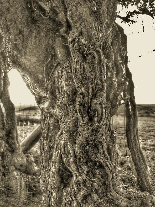 Hawthorne Close-up Textured  Nature Remote Countryside Hawthorn Hawthorne Tree Ages Old Tree Trunk Scary Check This Out Blackandwhite Photography Growth Focus On Foreground Botany What Do You See? Wales You Beauty