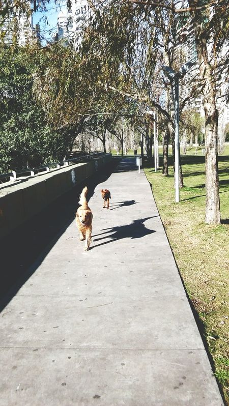 Pets Day Outdoors Domestic Animals Dog Nature Art Is Everywhere Streetphotography Buenos Aires, Argentina  Puerto Madero, Argentina Friendship Setter Irlandes DASTAN Irish Setter Setter Irishsetterpuppy Love Irishsettersofinstagram Irishsetter Happiness Puppy Love Puppy Leisure Activity