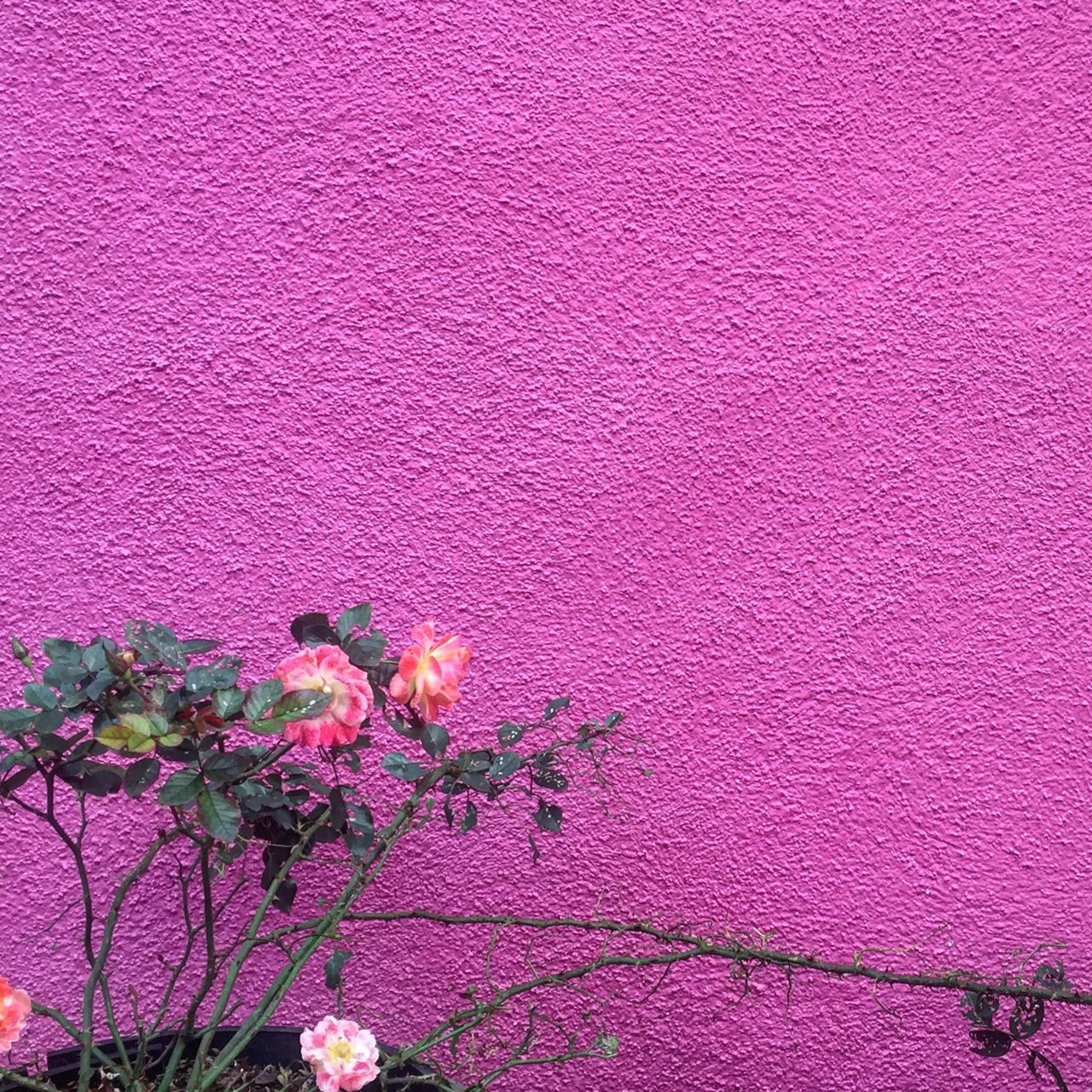 Burano Pink Flowers Beauty In Nature Fragility EyeEm Best Shots