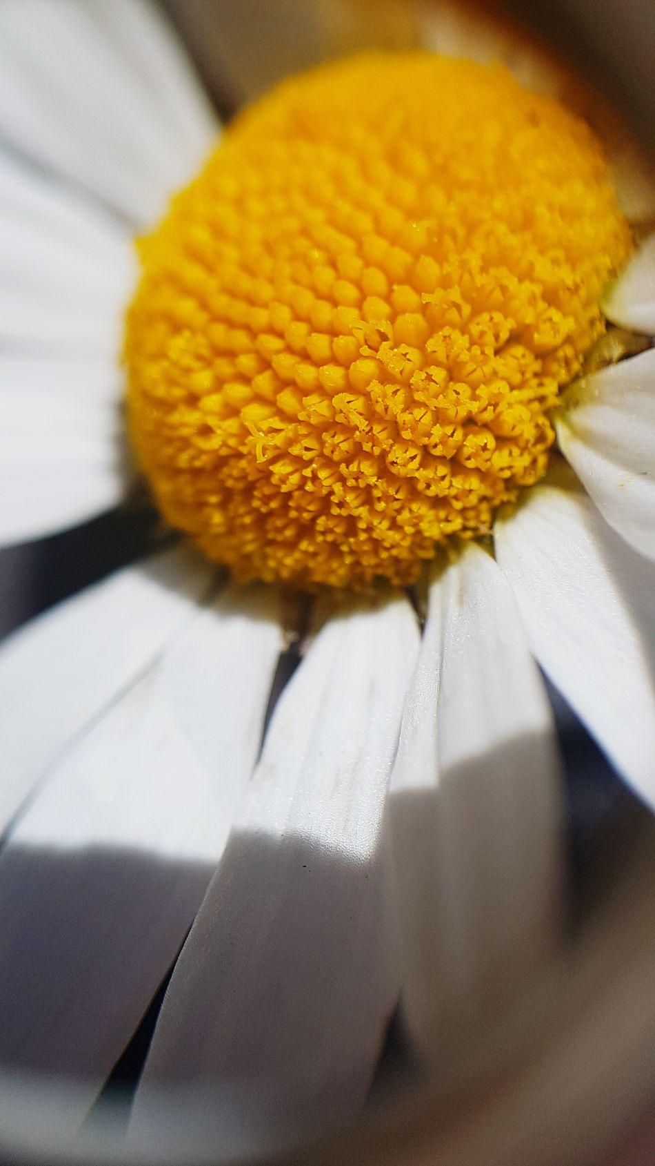Color Of Life Flower Photography Macro Beauty In Nature LoveNatureAndMountain Botanic Fibonacci Switzerland Wallis Arolla