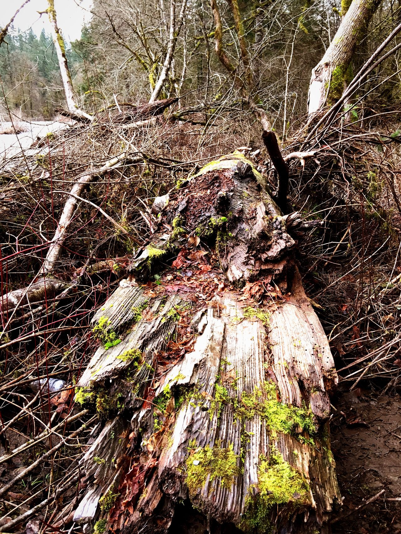 Tree Trunk Tree Forest Nature Wood - Material Textured  Outdoors No People Log Bark Tranquility Day Fallen Tree Root Deforestation Tree Stump Dead Tree Branch Close-up Woods Nature_collection Nature Photography Tree Trunk Trees And Nature Outdoor Pictures
