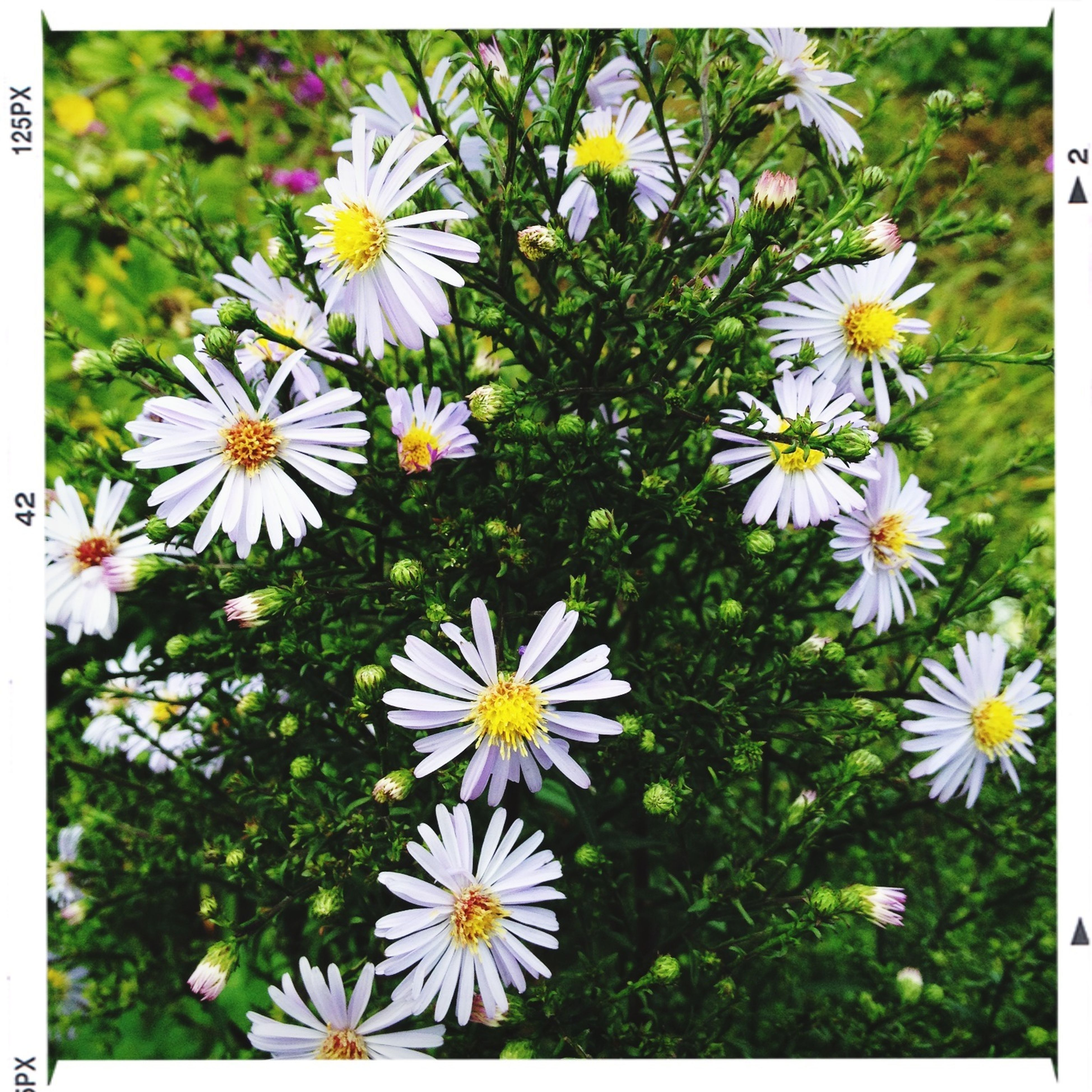 transfer print, flower, freshness, fragility, growth, auto post production filter, petal, white color, flower head, beauty in nature, daisy, nature, blooming, plant, yellow, field, focus on foreground, day, green color, close-up