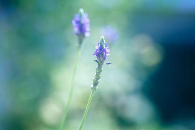 スキマ園芸 レースラベンダー Lavender (kind of) 家から出られないから庭の写真しか撮れない 夏休みってなんですか