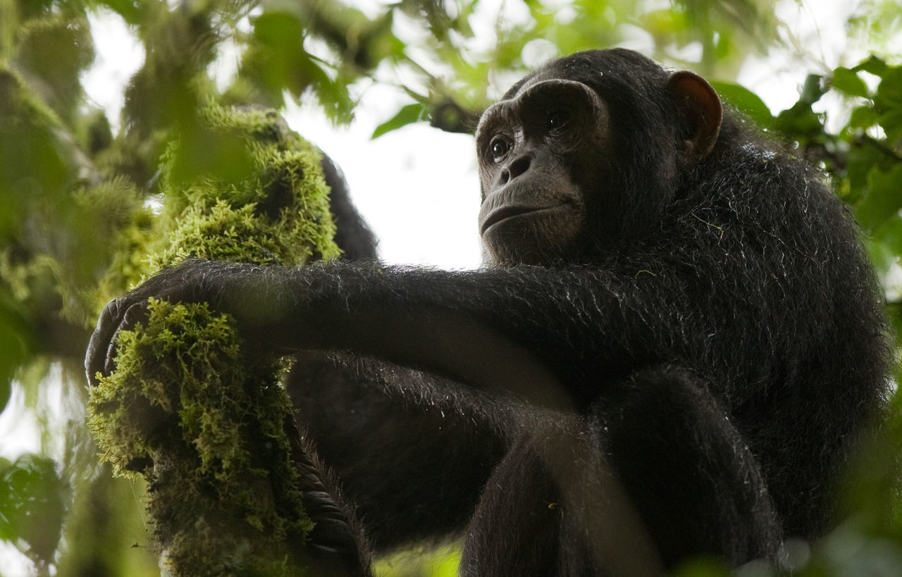 Chimpanzee Africa Alertness Animal Head  Animal Themes Animals In The Wild Black Close Up Close-up Curiosity Day Depth Of Field Focus On Foreground Full Frame Mammal No People One Animal Relaxation Relaxing Selective Focus Sitting Ugandachimpanzee Wildlife Zoology