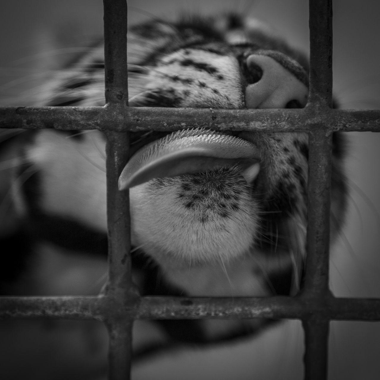 Animal Body Part Animal Themes Cage Close-up One Animal Prickly Prickly Tongue Tiger Tongue Tongue Out