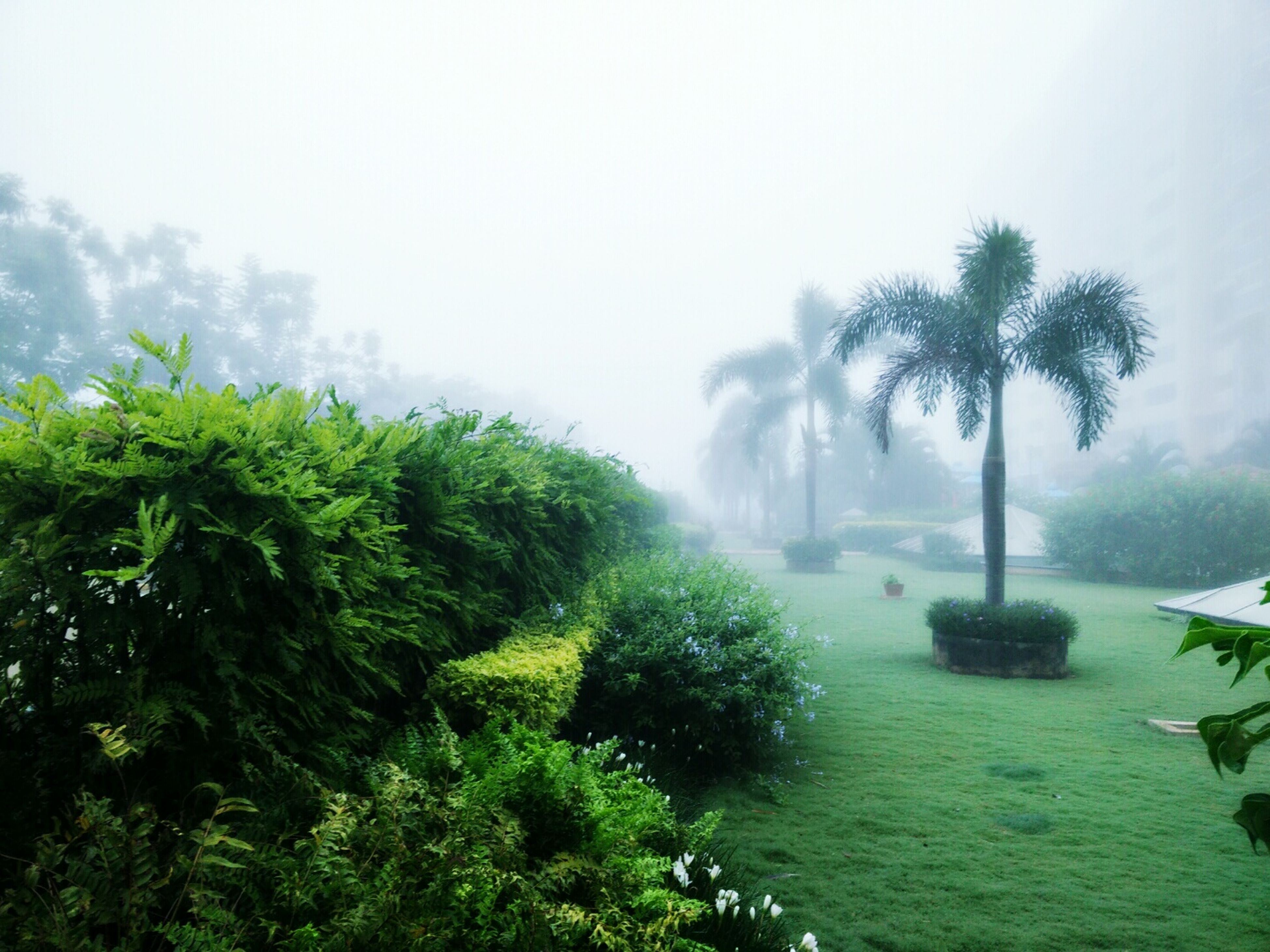 tree, palm tree, growth, green color, fog, nature, water, tranquility, beauty in nature, foggy, tranquil scene, scenics, weather, plant, sky, day, green, outdoors, no people