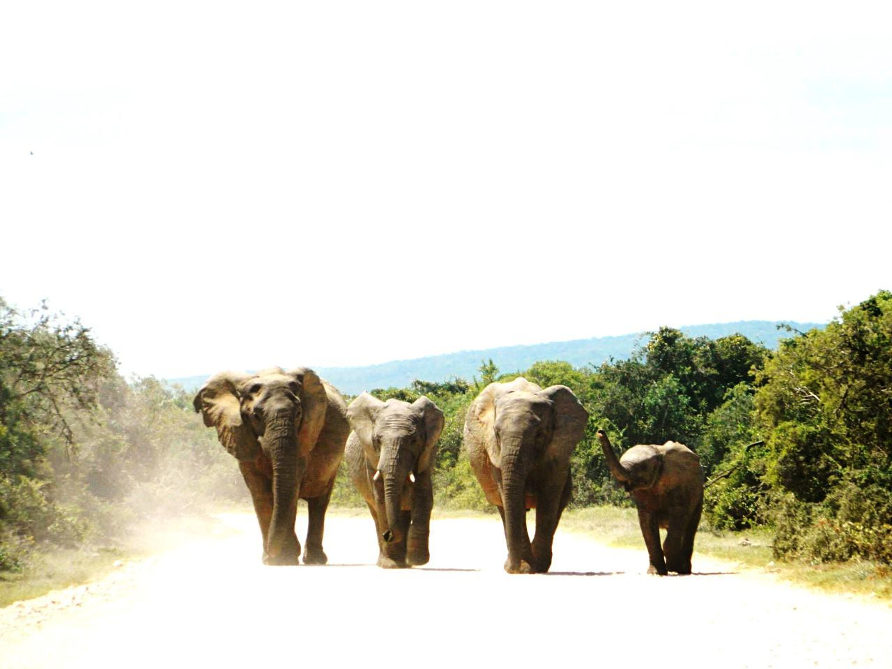Beautiful stock photos of elephant, Animal Family, Animal Themes, Animal Trunk, Animals In The Wild