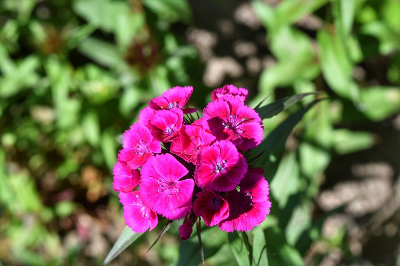 🌸 Flower Pink Color Nature Flower Head Plant Petal Day No People Outdoors Beauty In Nature Fragility Close-up Growth Freshness Focus On Foreground Naturelovers Springtime Sunny Day Nikonphotographer Nikon Nikonphotography Plant Growth EyeEmFlower EyeEm Best Shots