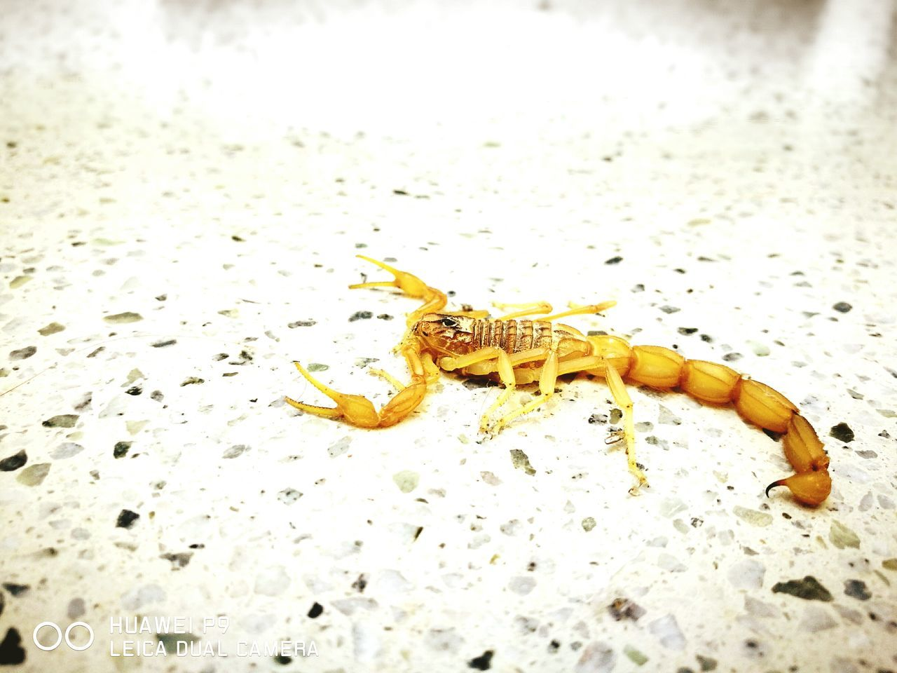 Beautiful stock photos of scorpion,  Animal Themes,  Arthropod,  Crawling,  Danger