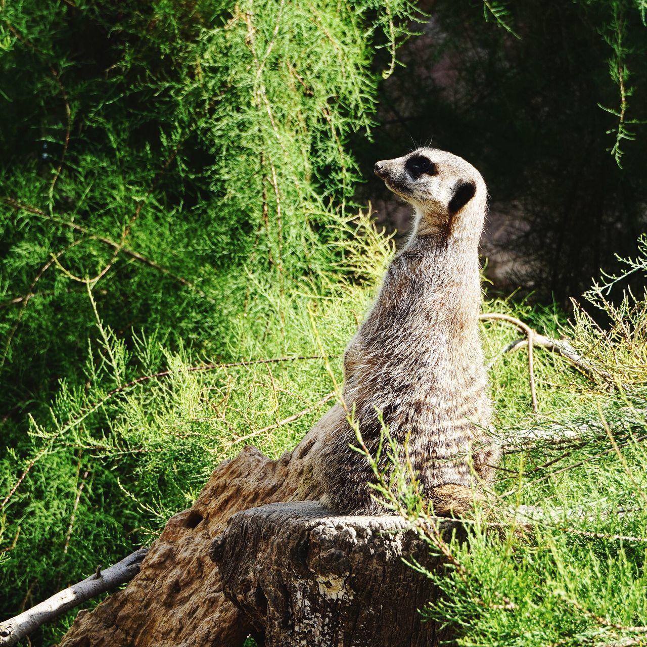 One Animal Animals In The Wild Animal Themes Mammal Nature Animal Wildlife No People Tree Outdoors Day Meerkat