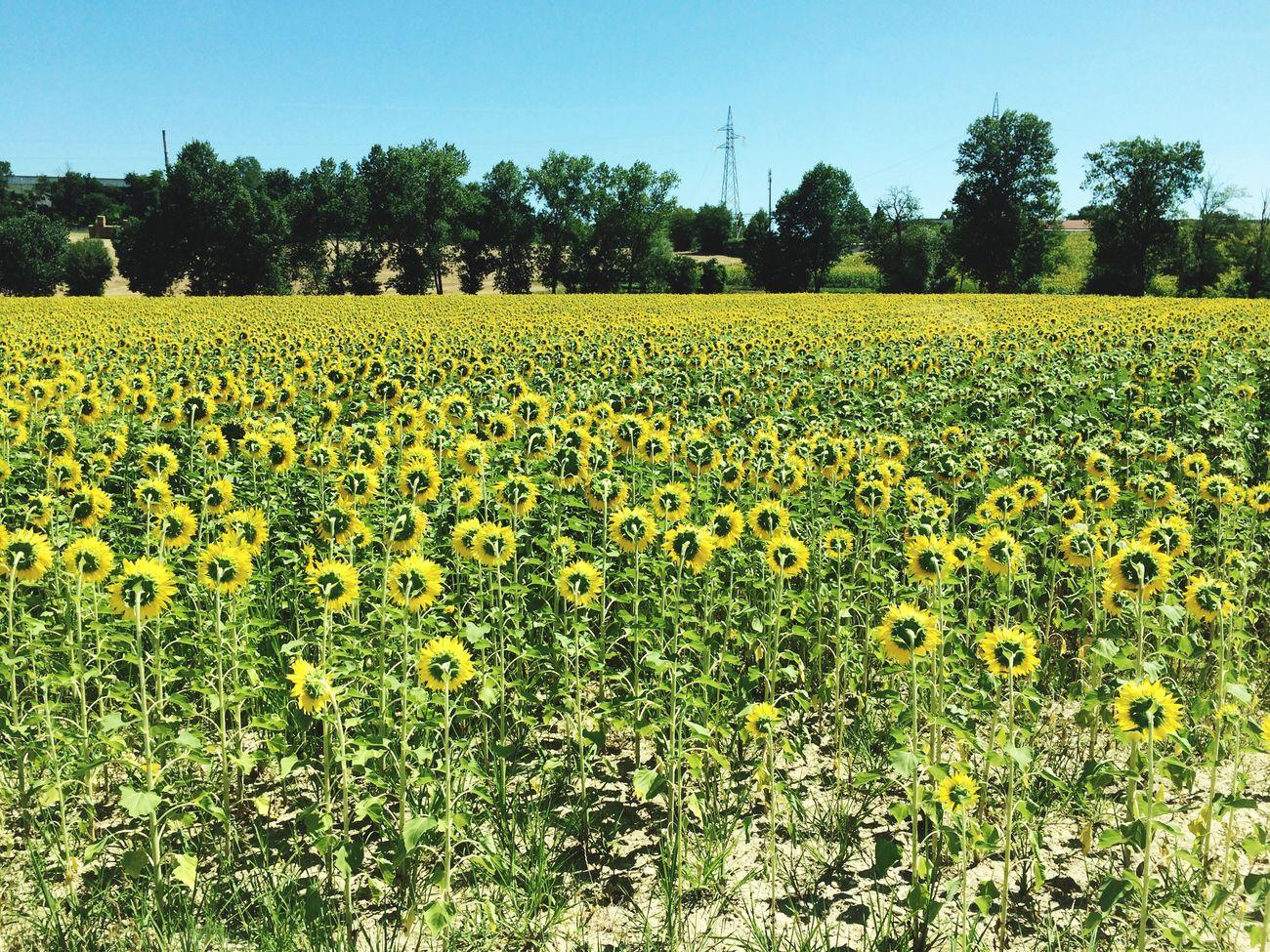 Fano Weekend Girasoli Girasole Sun Sole Sunflower Sunflowers Landscape Landscape_Collection