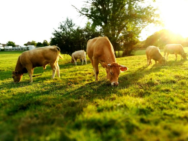 Cows Grazing Cows Nature Photography Animals Walking Around Taking Pictures HuaweiP9plus Photography Netherlands Capture The Moment Greengrassofhome Livestock Cattle Sunset