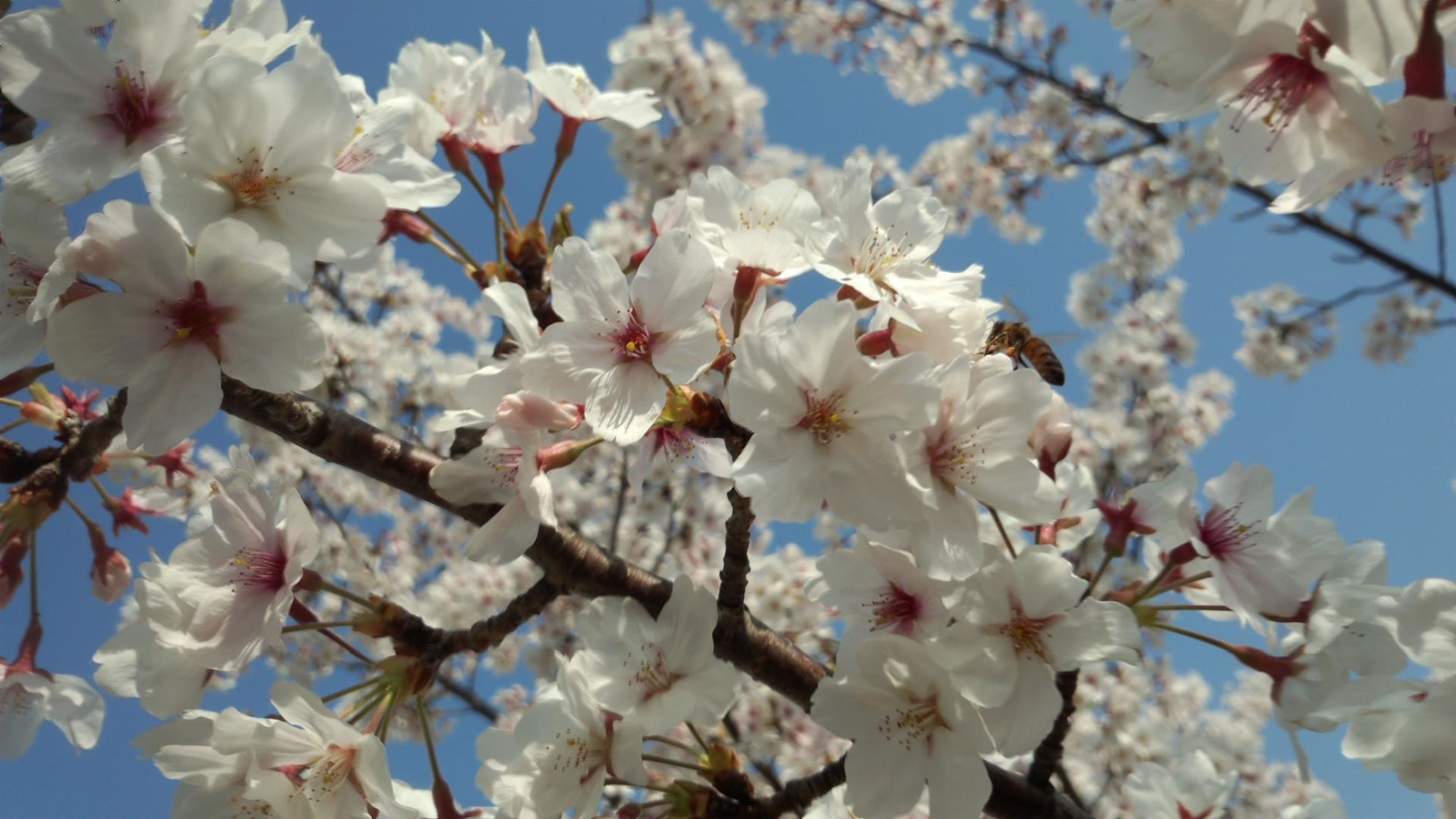 flower, cherry blossom, freshness, branch, fragility, tree, cherry tree, white color, blossom, low angle view, growth, beauty in nature, nature, petal, fruit tree, apple blossom, in bloom, orchard, blooming, springtime