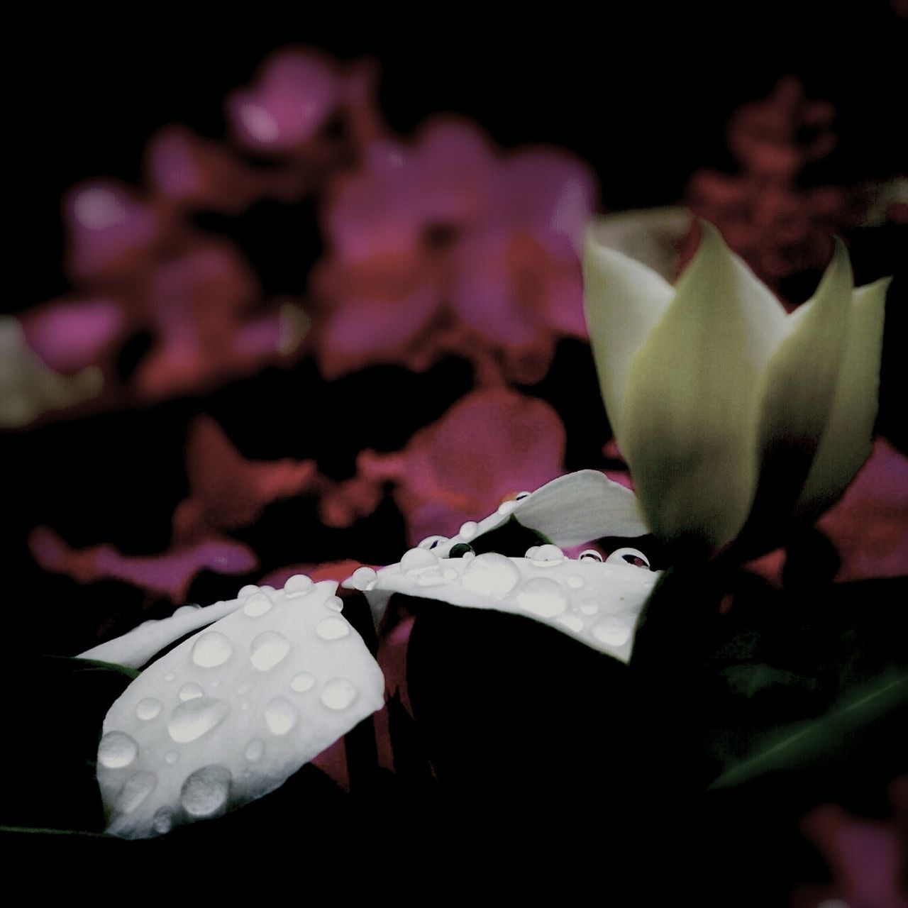 flower, petal, fragility, beauty in nature, freshness, flower head, nature, no people, close-up, pink color, rose - flower, growth, blooming, black background, night, outdoors