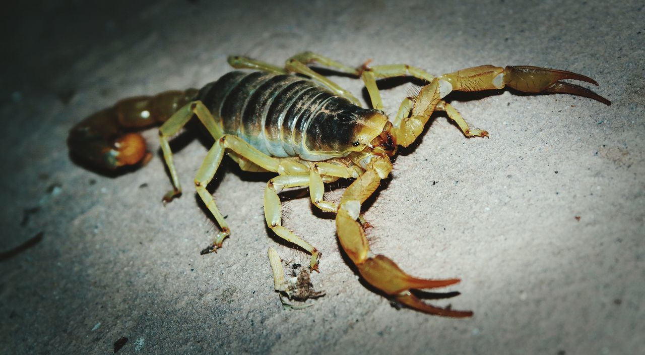 Beautiful stock photos of scorpion, Animal Themes, Close-Up, Crawling, Day