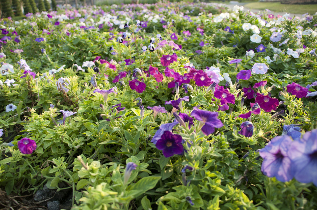 flower, plant, growth, purple, nature, beauty in nature, leaf, fragility, no people, outdoors, flowerbed, petal, freshness, day, blooming, flower head, petunia, close-up