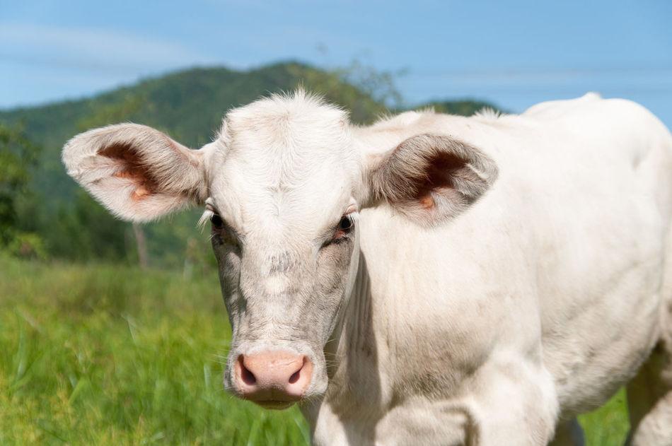 Beautiful stock photos of kühe, Clear Sky, Cow, Innocence, Looking At Camera