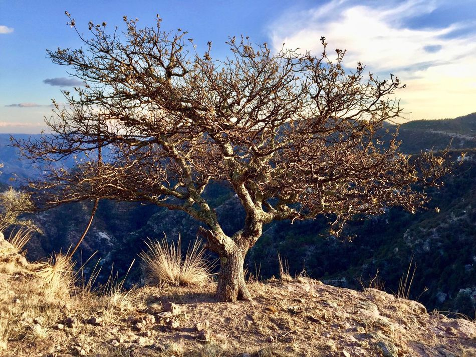 Tree Nature Tranquility Growth Beauty In Nature Scenics No People Sky Outdoors Tranquil Scene Bare Tree Branch Day Sunset Coppercanyon Dry Tree TCPM