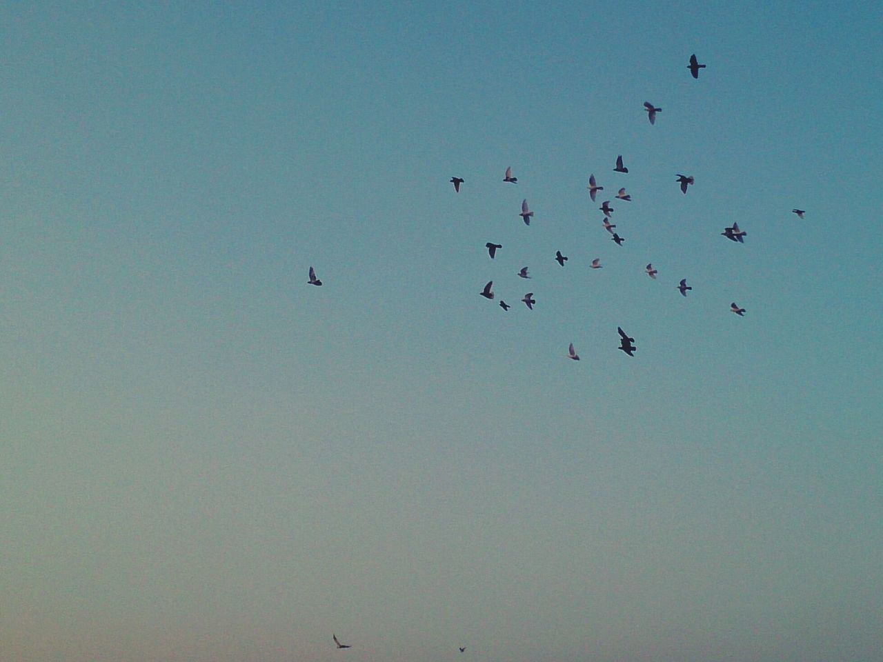 flying, bird, large group of animals, flock of birds, low angle view, animal themes, animals in the wild, copy space, clear sky, migrating, nature, mid-air, togetherness, outdoors, beauty in nature, animal wildlife, no people, day, sky