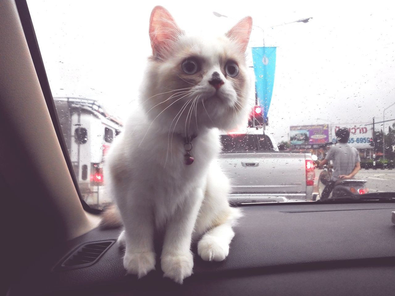 Cats Catoftheday Cat In Car Cats 🐱 Cat Watching Rainy Days