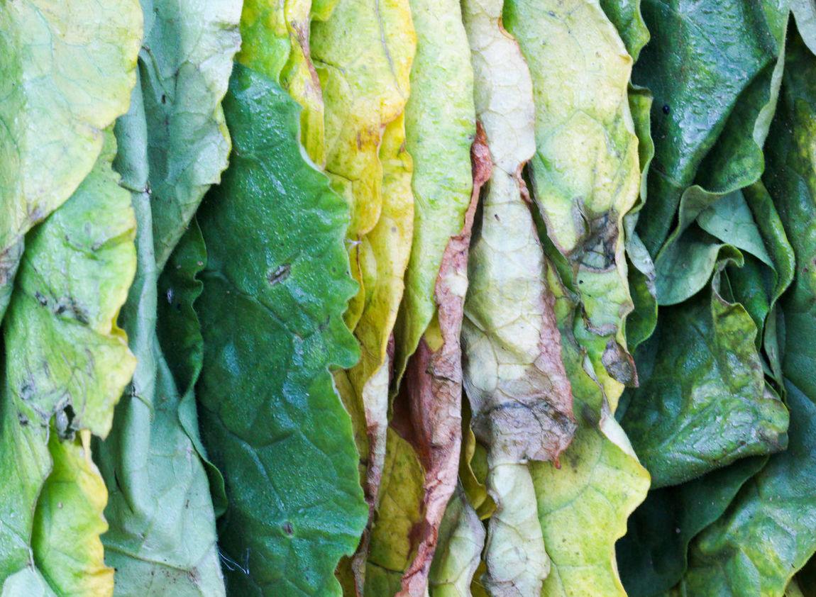 tobacco, drying leaves Addiction Cigarette  Cigarettes Dry Tobacco Dry Tobacco Leaves Farm Fresh Hanging Out Leaf Leaves Nicotine Tobacco Tobacco Farm Tobacco Leaf