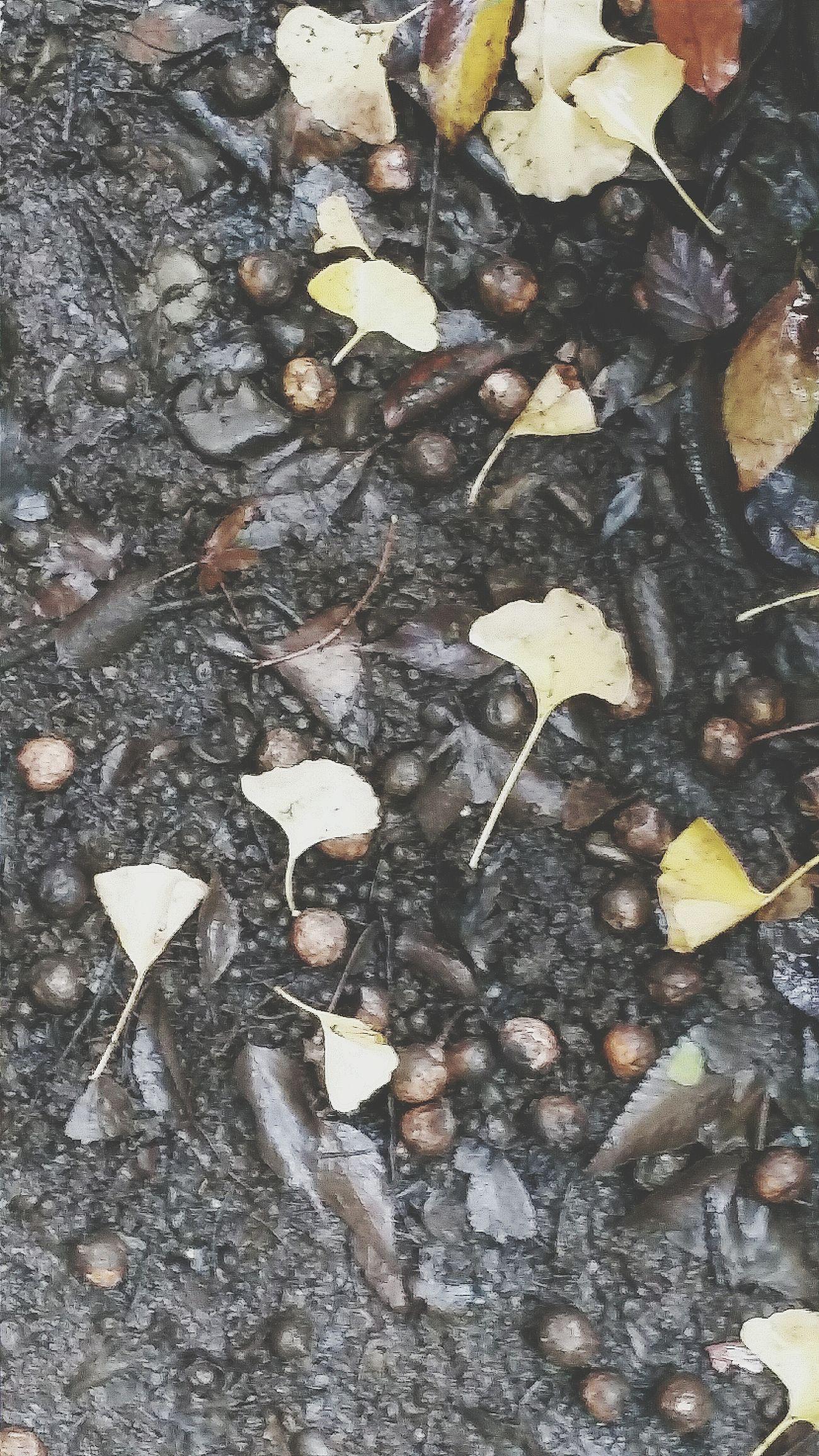 Nuts Seeds Leaves Ginkgo Yellow Autumn Colors Autumn 2015 Fall Autumn 秋 Tokyo Autumn 2015 Seasons EyeEm Nature Lover Naturelover Nature Photography Nature_collection Enjoying Tokyo Tokyo Nature Urban Nature Tokyo Japan Koishikawa Korakuen Travelphotography