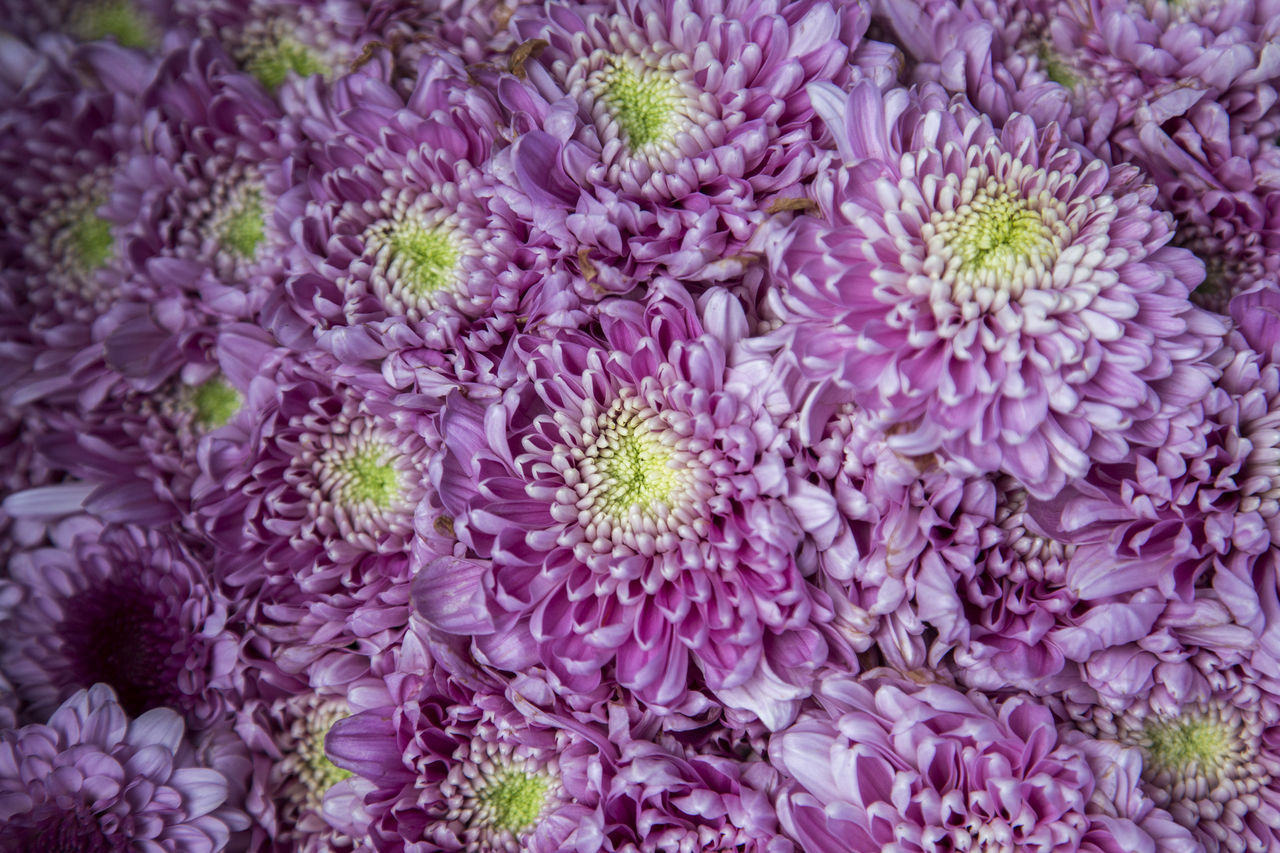 Backgrounds Beauty In Nature Chrysanthemum Close-up Dahlia Day Flower Flower Head Fragility Freshness Full Frame Growth Nature No People Outdoors Petal Plant