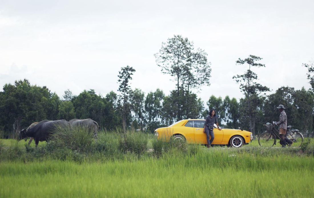 Buffalo Toyota Celica Animal Themes Car Day Elephant Famer Grass Land Vehicle Mammal Nature Outdoors Real People Sky Transportation Tree