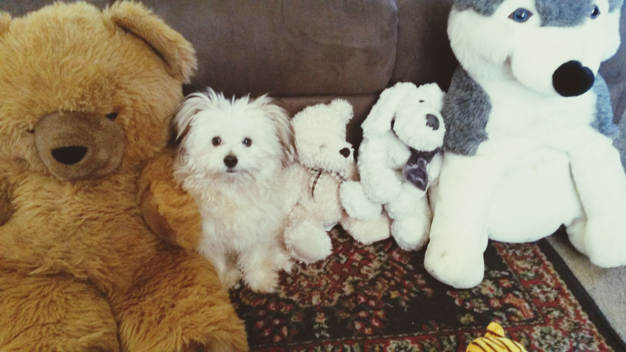 indoors, domestic animals, animal themes, pets, dog, toy, high angle view, mammal, stuffed toy, relaxation, white color, animal representation, cute, one animal, no people, home interior, resting, portrait, lying down, close-up