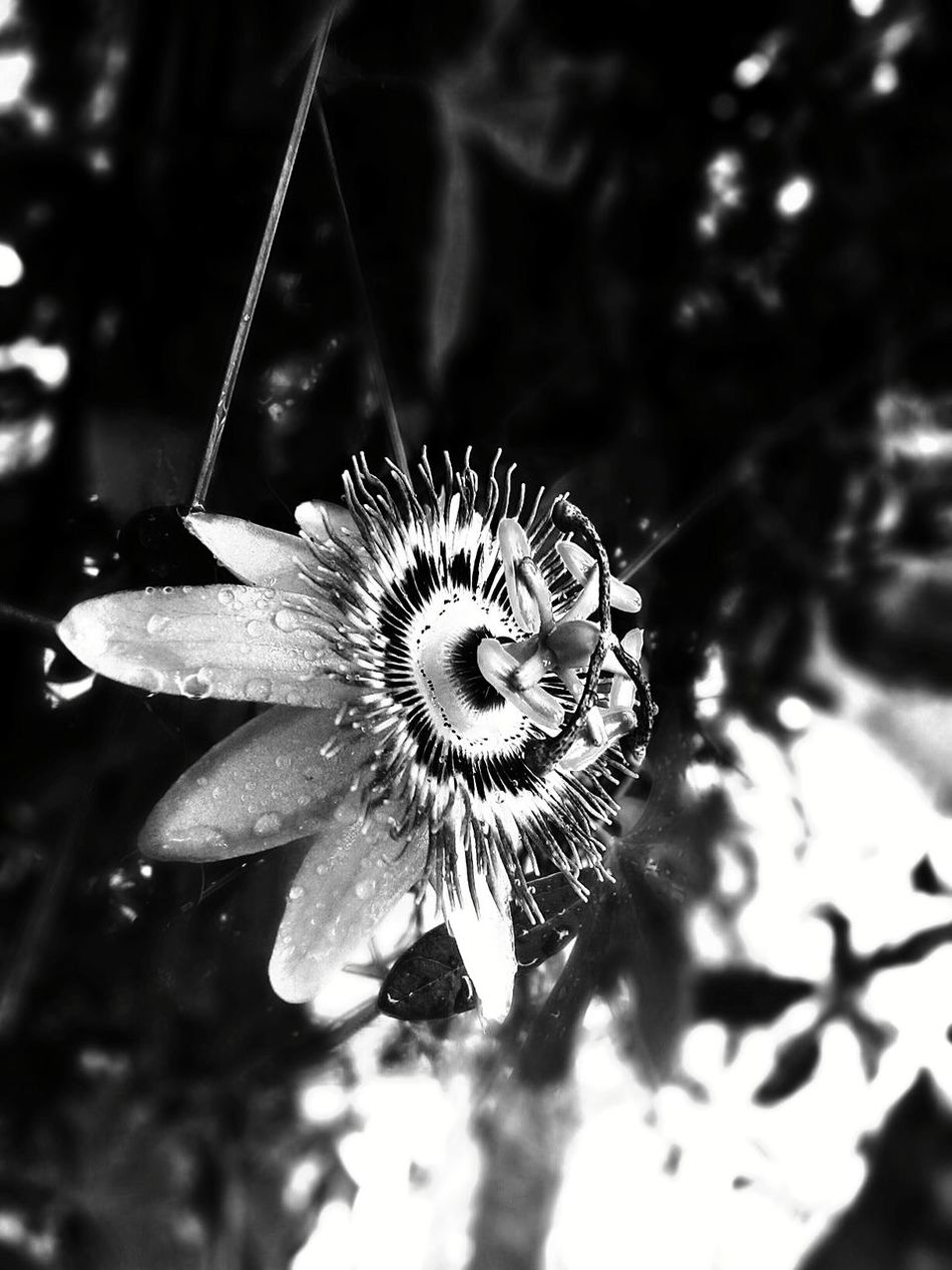 Pure passion. . . Black And White Passion Black And White Black And White Flower Collection Black And White Photography Passionflower Check This Out Rain Flower Flowerporn Focal Point Flower Black & White Raindrops Debthoffield Debt Of Field