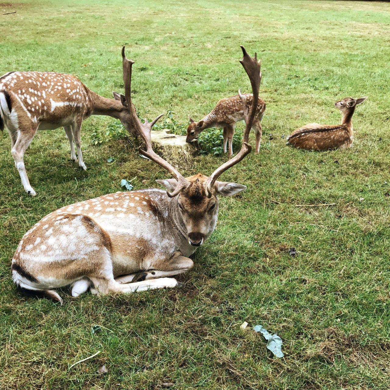 Deer Roe Deer Animals Animal Themes Animals In The Wild Herd Grass Deer Nature