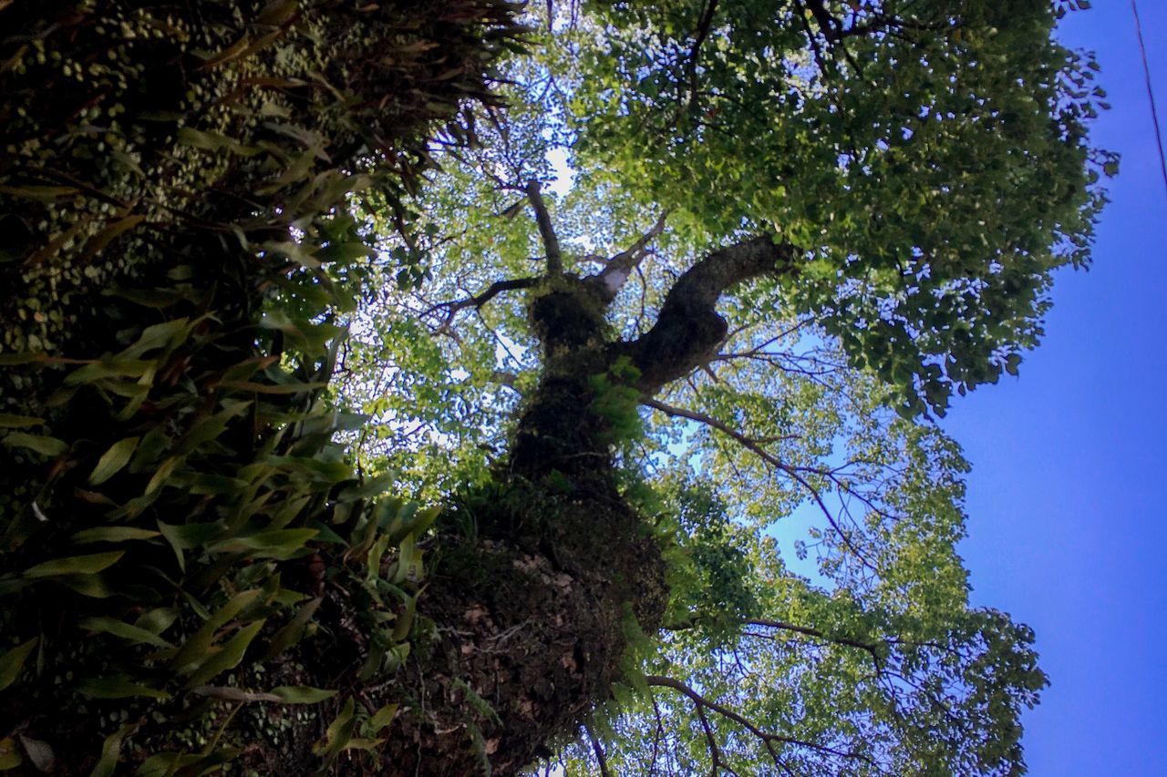 tree, low angle view, growth, branch, nature, green color, day, leaf, forest, outdoors, no people, tree trunk, beauty in nature, scenics, sky, clear sky, animal themes