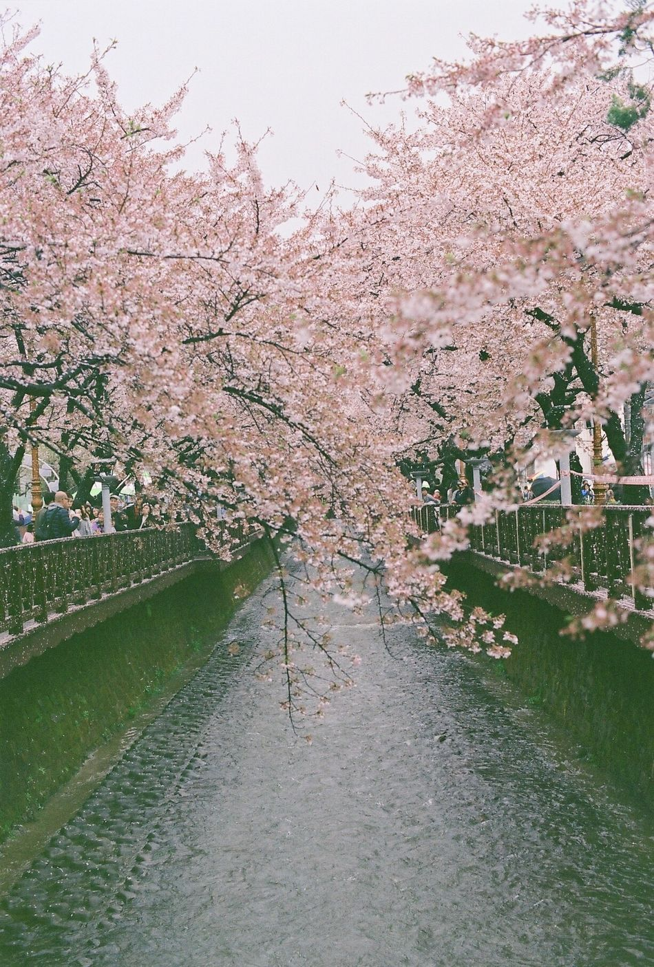 EyeEmbestshots Filmcamera Beauty In Nature Blossom Flower Nature Tree Springtime Outdoors Freshness River Pink Color EyeEm Best Shots Film EyeEm Analogue Photography Freshness Spring Eyeemphotography Beauty In Nature Streetphotography Filmisnotdead NoEditNoFilter Analog Filmphotography