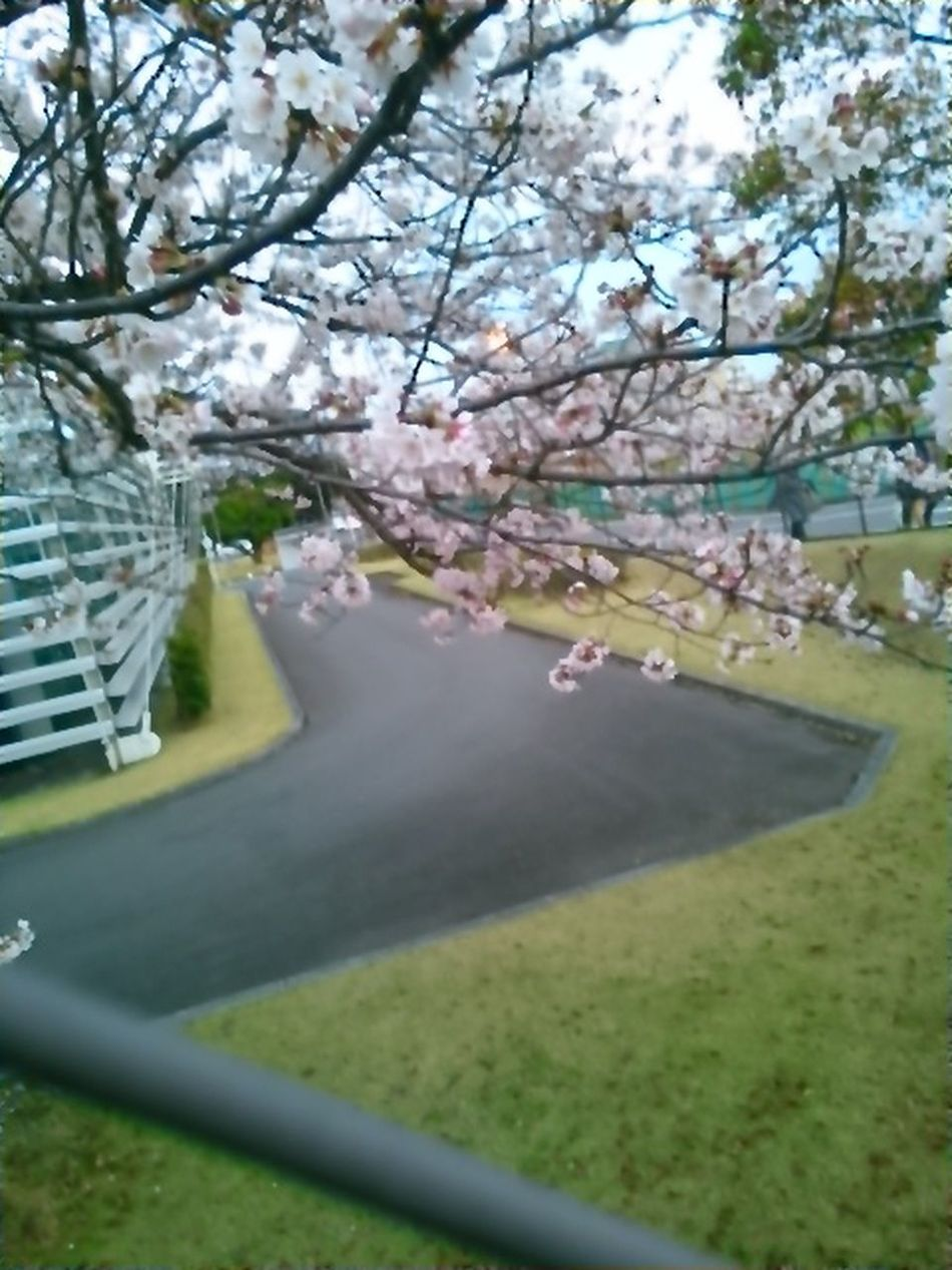Beautiful Day Cherry Blossom Leaf Cherry Blossoms Cherry Tree Beautiful View Cherry Tree Flower Japanese Spring Blossom