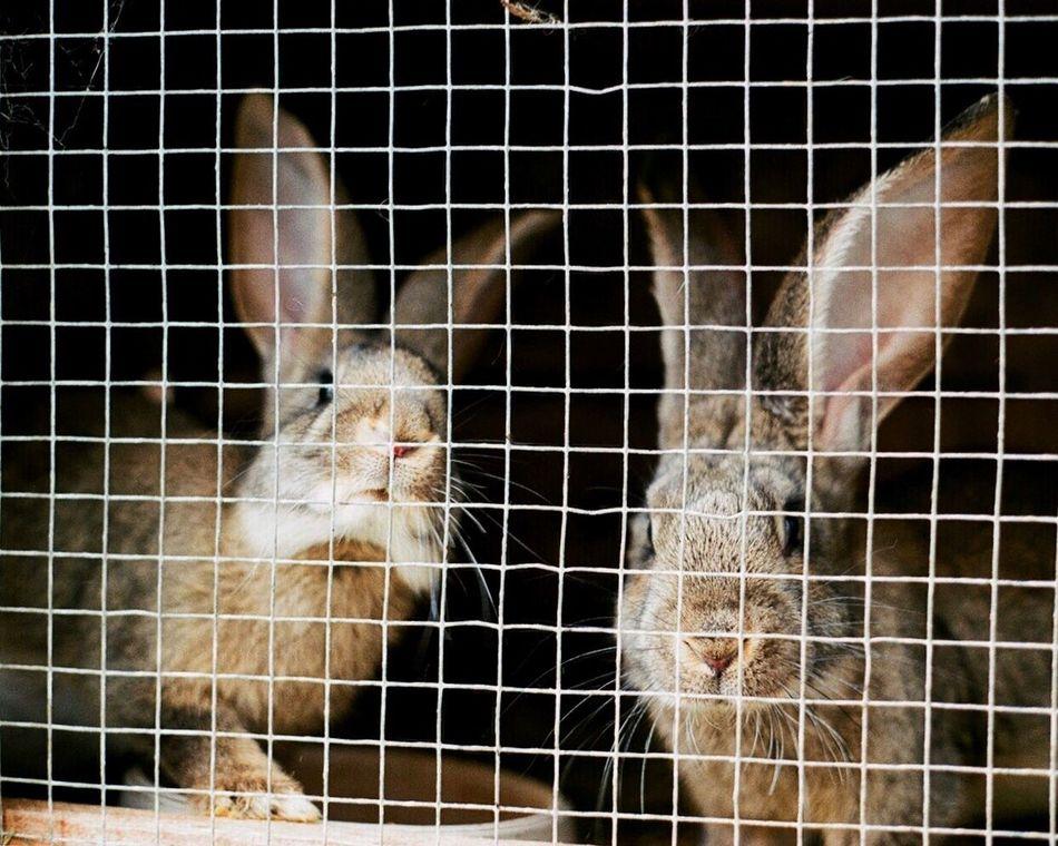 Animal Themes Cage Domestic Animals Pets Close-up Nature 35mm Film Leicam6 Film Photography German Outdoors 35mm Vscocam Kodak Snapseed Rabbit Long Goodbye Resist EyeEmNewHere EyeEm Diversity