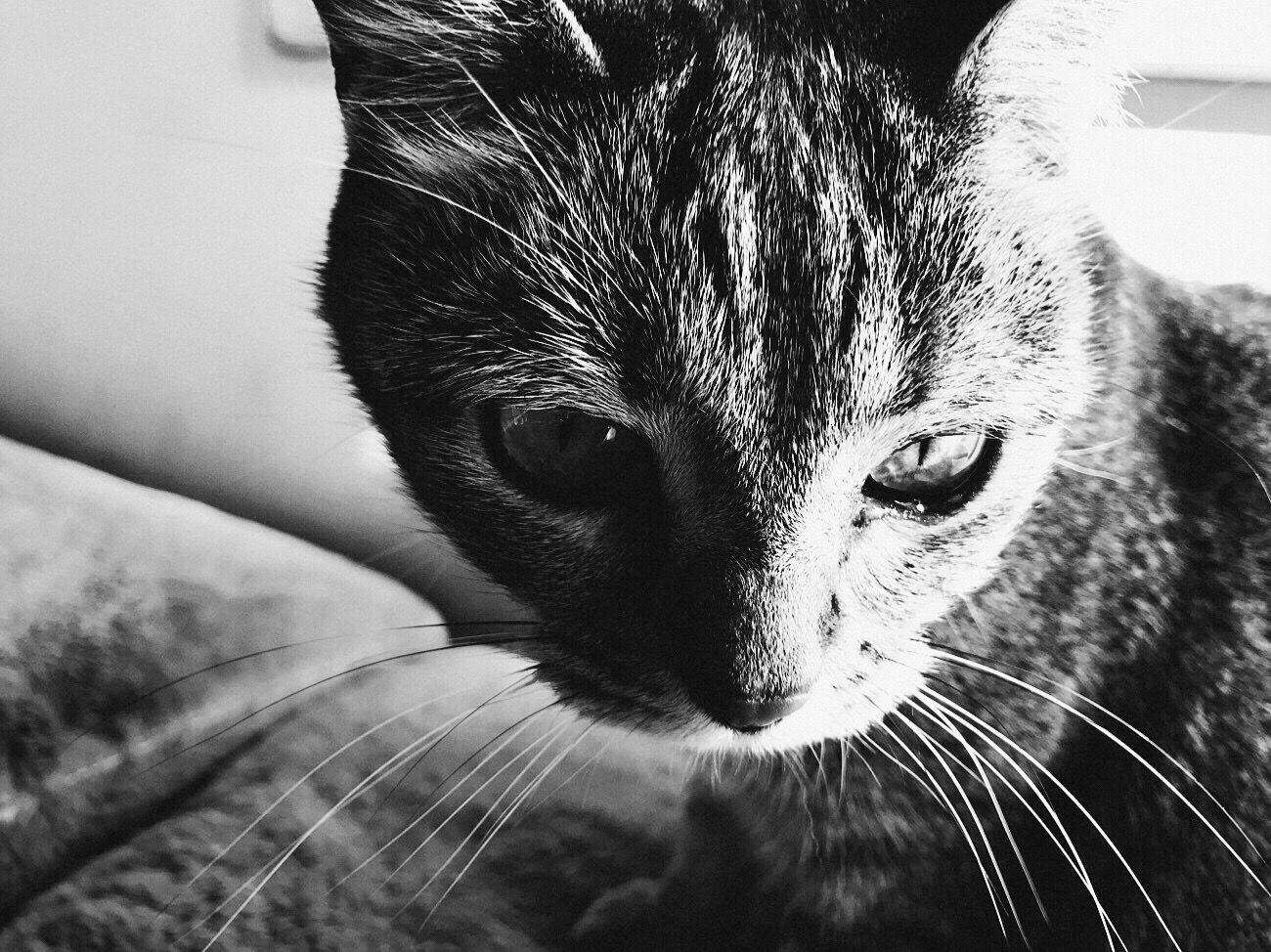 Pets Domestic Animals Domestic Cat Feline Cat Blk N Wht Iphone7 Koduckgirl