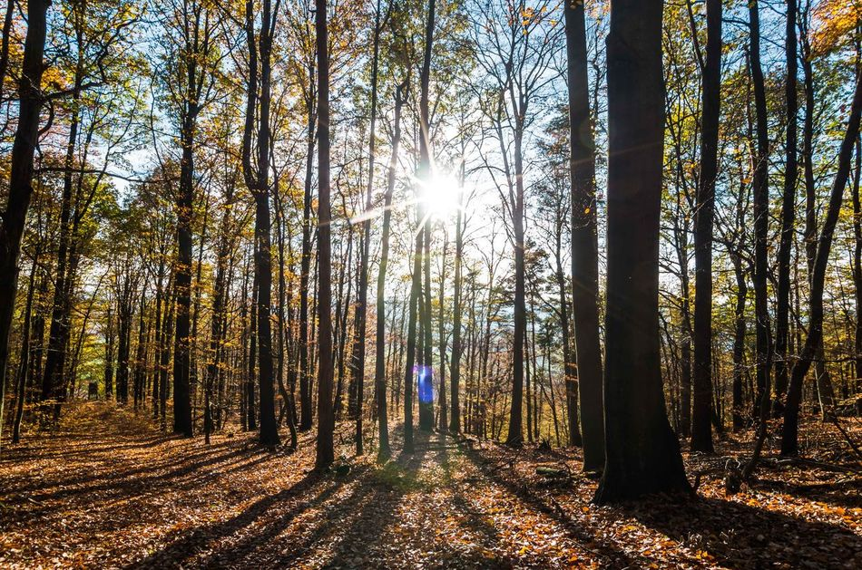 sunlight | beams | trees ... Autumn Beauty In Nature Colors Day EyeEm Best Shots EyeEm Nature Lover Forest Growth Hiking Landscape Leaves Lens Flare Light And Shadow Nature One Person Outdoors People Shadow Sky Sun Sunbeam Sunlight Tree Tree Trunk Warm The Secret Spaces