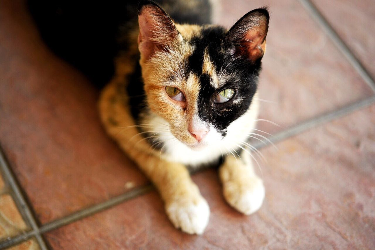 domestic cat, animal themes, one animal, pets, domestic animals, mammal, feline, whisker, indoors, looking at camera, focus on foreground, no people, close-up, portrait, sitting, day, kitten
