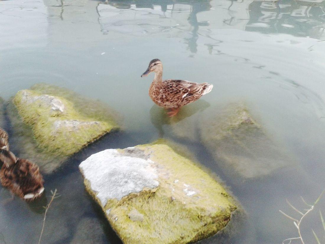 Ducks and more ducks ! Ducks Taking Photos Cute Ducks Iloveducks ♥