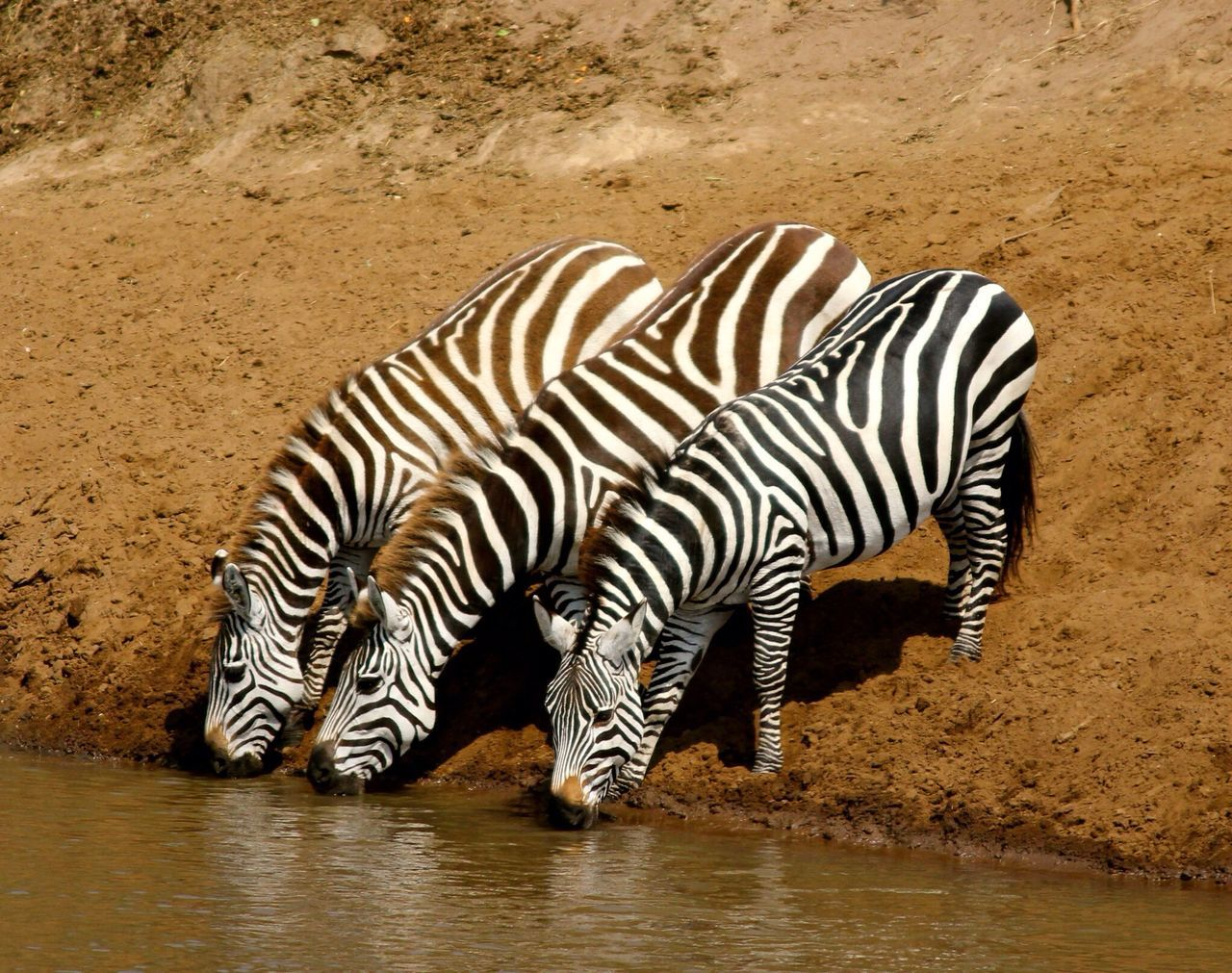 Beautiful stock photos of zebra, Animal Family, Animal Themes, Animals In The Wild, Day