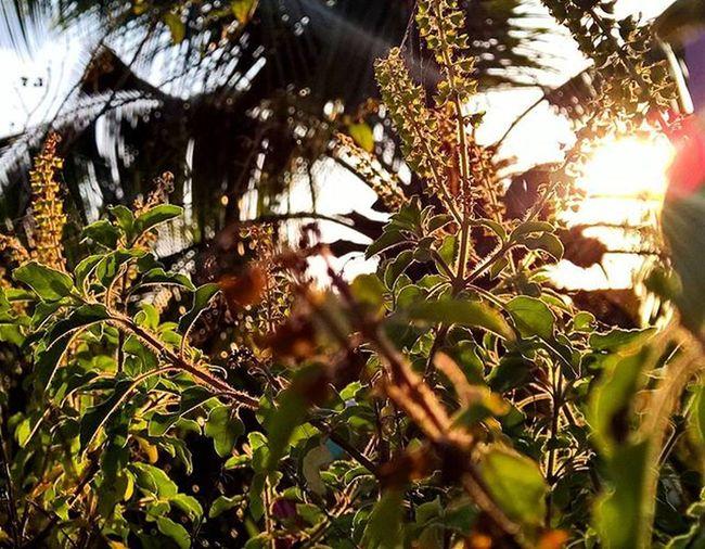 Sunrise_sunsets_aroundworld Sunrise Sunset Tulasi  Leaves Seeds Shot On Nokia  Lumia 1520 Lumia1520 Nice View Effect Sunrays