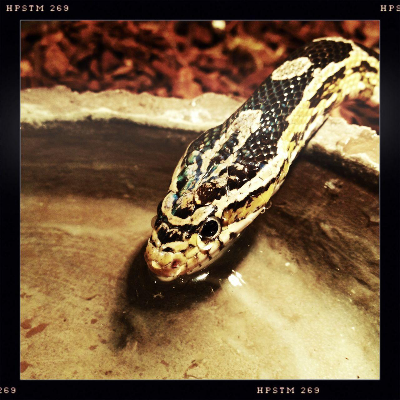 Reptile One Animal Close-up Snake Drinking Water Terrarium Black Albino Kornnatter Kornnatter Schlange