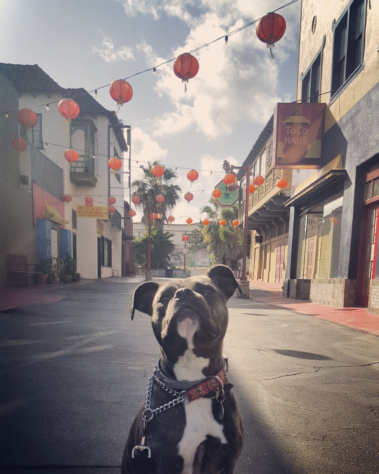 Domestic Animals Dog One Animal Pets Building Exterior Outdoors No People Day Architecture City Dogs Of EyeEm Dogslife Pet Photography  Rescuedog Pitbulllife Bestfreinds Pitbullmixes Pets Of Eyeem Mutts AmericanBulldog Chinatown LA