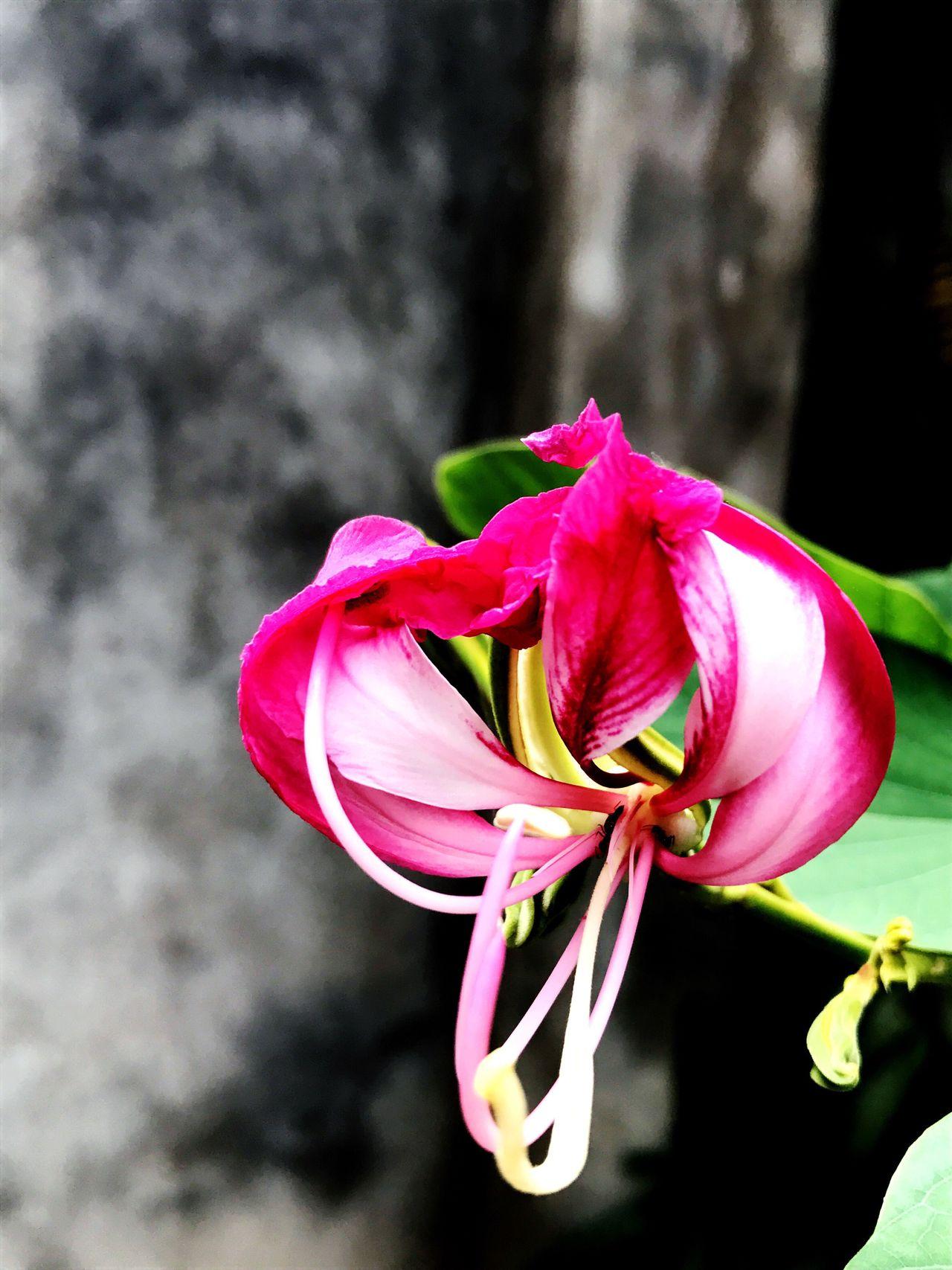 Flower Rose White Medicinal Plant