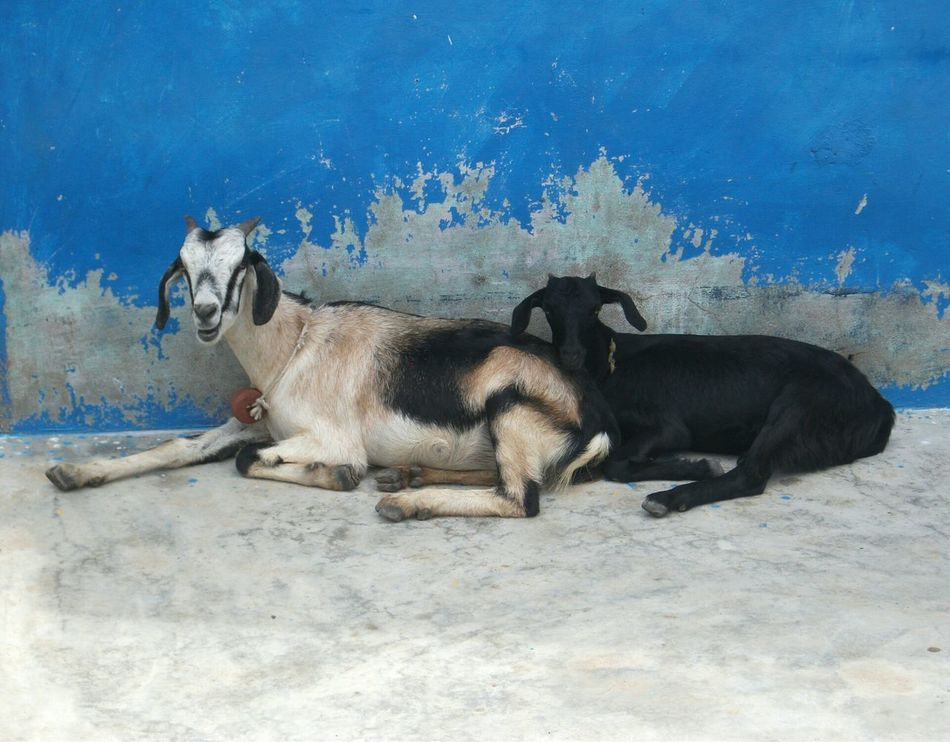 Animal Themes Goats Chèvres photography India