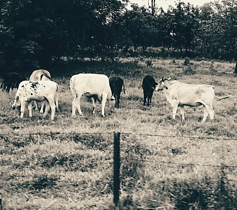 Landscape Nature Rural Rural Scene Animals Tree Tranquility Brazil Minasgerais Tiradentes -MG Tiradentes City Crown Cows Grazing Cows Cows In The Feilds Cow Pasture Cowboy Photographer Rural Landscape Ruralroad Blackandwhite Black And White Photography