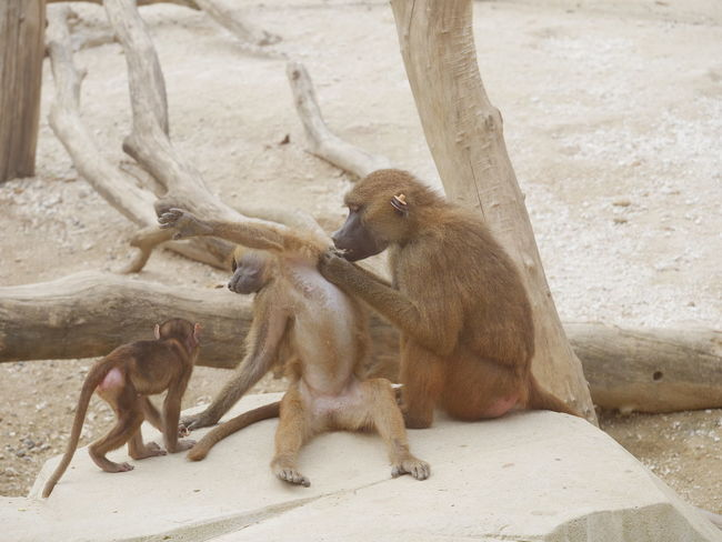 Family Zoo Animals Baboon Cute Grooming